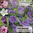 Geranium CD