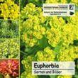 Euphorbia CD