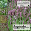 Sanguisorba-CD