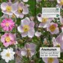 Cover AnemonenCD